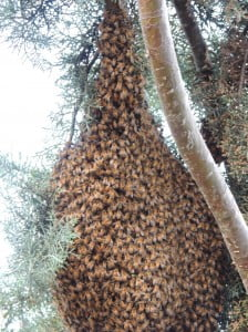 Bee Swarm on Branch
