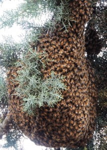 Swarm from Mocassin Reservoir