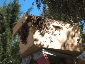 Swarm of bees moving into a box